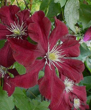 Clematis 'Midnight Showers'