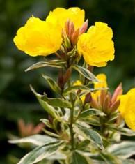 Smith S Gardens Inc Sundrops Amp Evening Primrose Profile